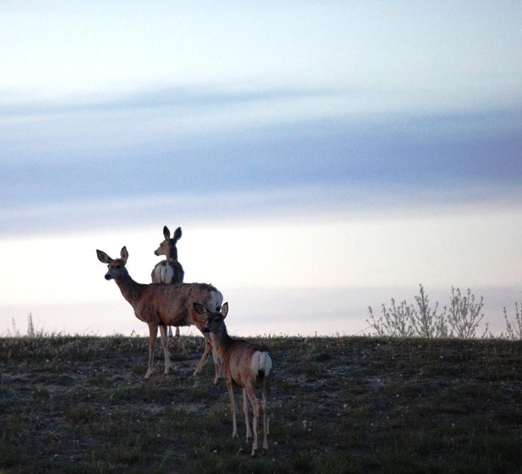 Deer at Lake Diefenbaker, Saskatchewan