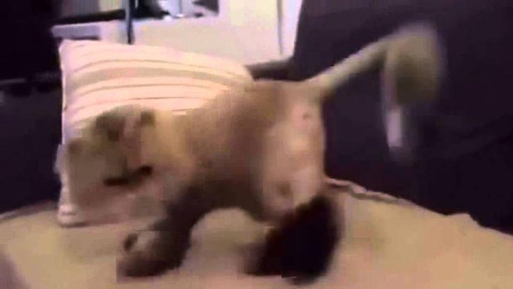 Funny Crazy Cats Dance 2016   Смешные Сумасшедшие Кошки Танцуют 2016