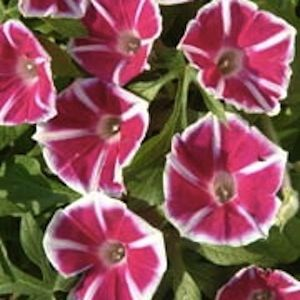 The 15 best plants i love or want p images on pinterest rosita morning glory seeds red flowers marked with white stars and edges rosita morning glory is unique vigorous growth to 12 feet tall mightylinksfo
