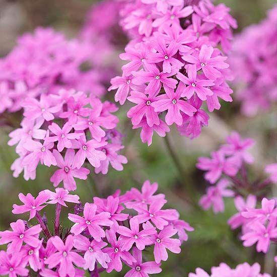 Make your garden low-maintenance with Rose Verbena. More fuss-free plants: http://www.bhg.com/gardening/flowers/perennials/editors-picks-favorite-fuss-free-plants/?socsrc=bhgpin051512?page=16