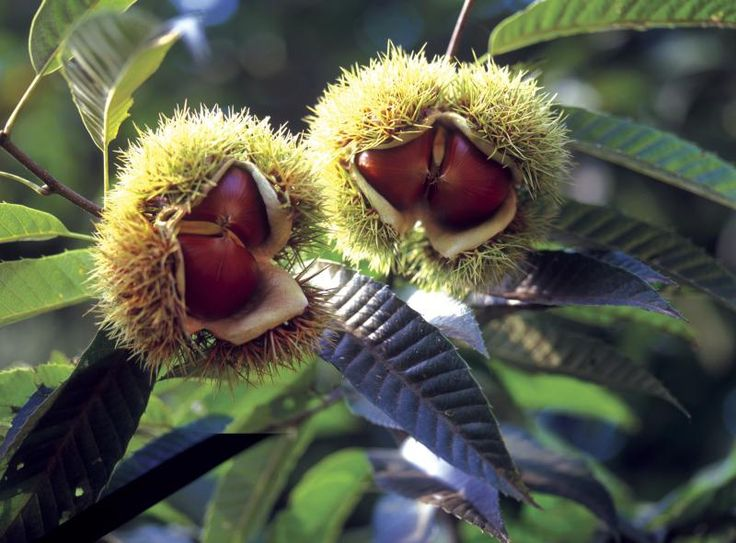 Growing American Chestnut Trees from Seed