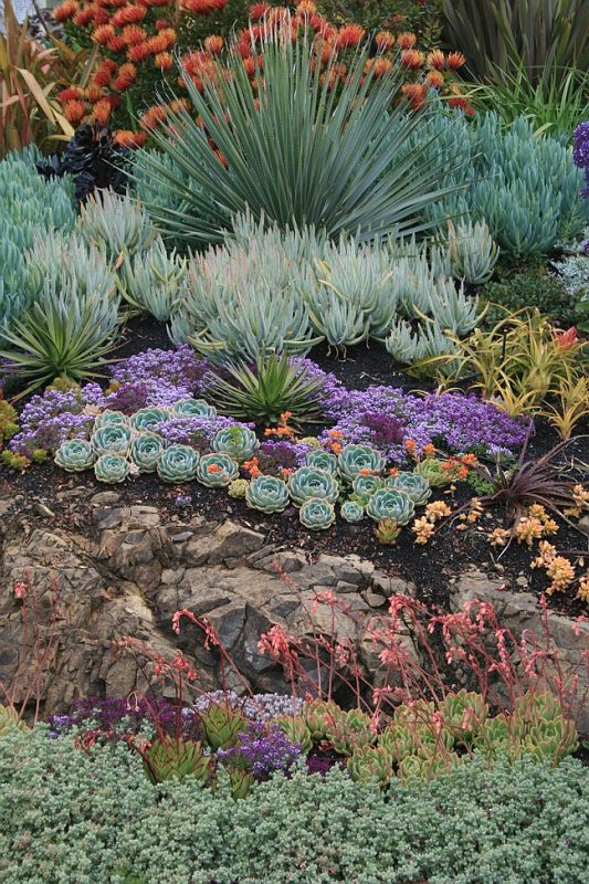 https://flic.kr/p/9K8Ly3 | Rock Outcrop with Succulents | A garden of succulents about 8 months after being first planted, for a garden in the Oakland Hills.  The largest plants were already in the garden, while all the smaller succulents were either added or moved around in the garden to achieve more dramatic effects.  The Pincushion Protea at the top of the slope is incredibly happy in this setting, and almost sets the slope on fire with the sheer quantity of blooms.  There are also a few…