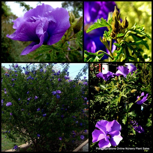 10 West Coast Gem Australian Native Plants Hibiscus Alyogyne huegelii Shrub Tree