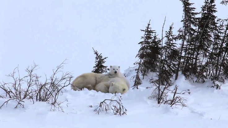 Yawning is contagious and cute! See a polar bear #mom and her cub snooze.