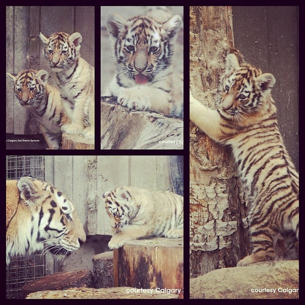 Have you seen the tiger cubs at the Calgary Zoo yet? #summeryyc