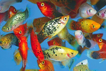 New ways to mix your community fish fish freshwater for Tropical community fish