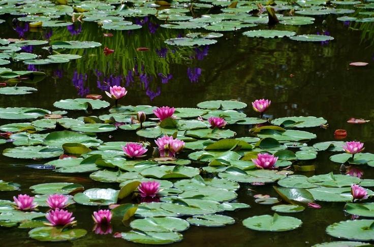 睡蓮の池 京都