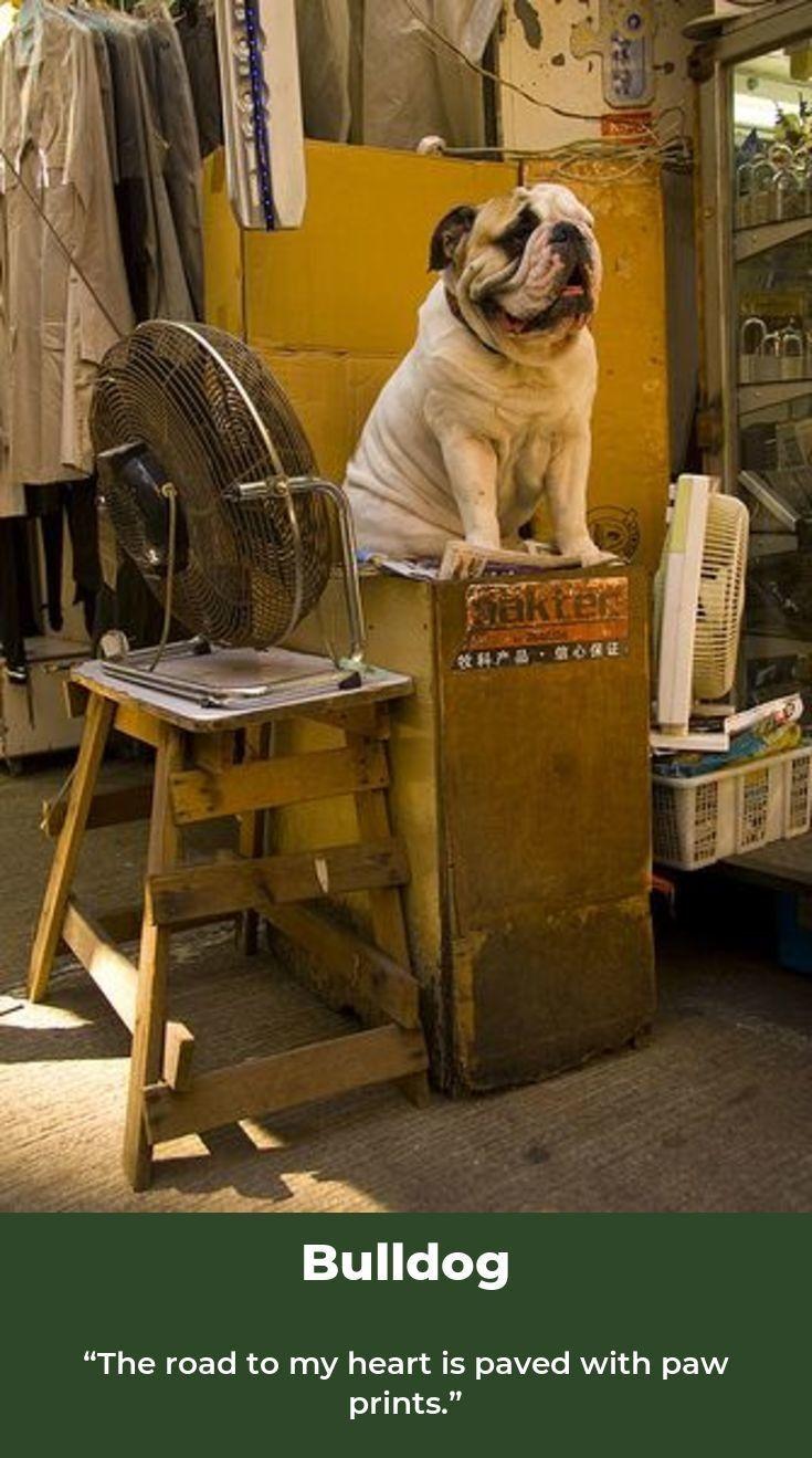 Bulldog Pup Bulldogs Bulldogsofpetsagram Bulldog English