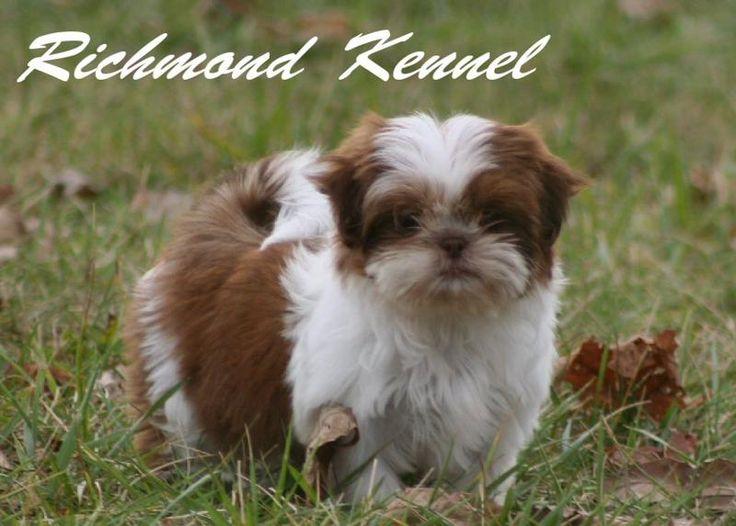 Richmondshihtzuforsale Shih Tzu Puppy New Puppy Puppies