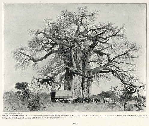 Cream-of-Tartar Tree   South Africa by The National Archives UK