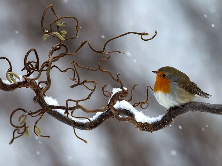 Picture of a robin in snow in Halland, Sweden
