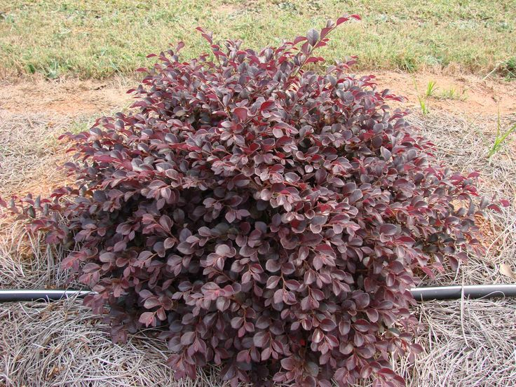 Crimson fire loropetalum sparkling sangria evergreen for Easy maintenance bushes