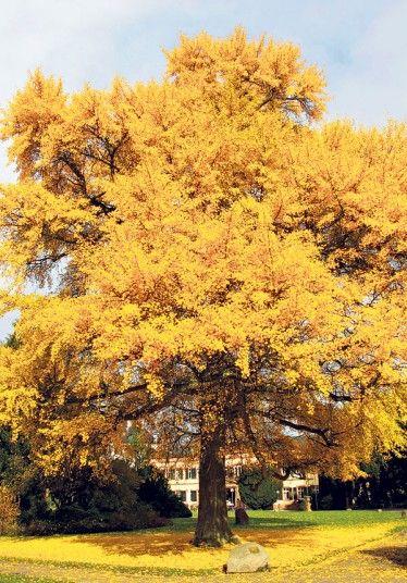 Ginkgo - the maidenhair tree