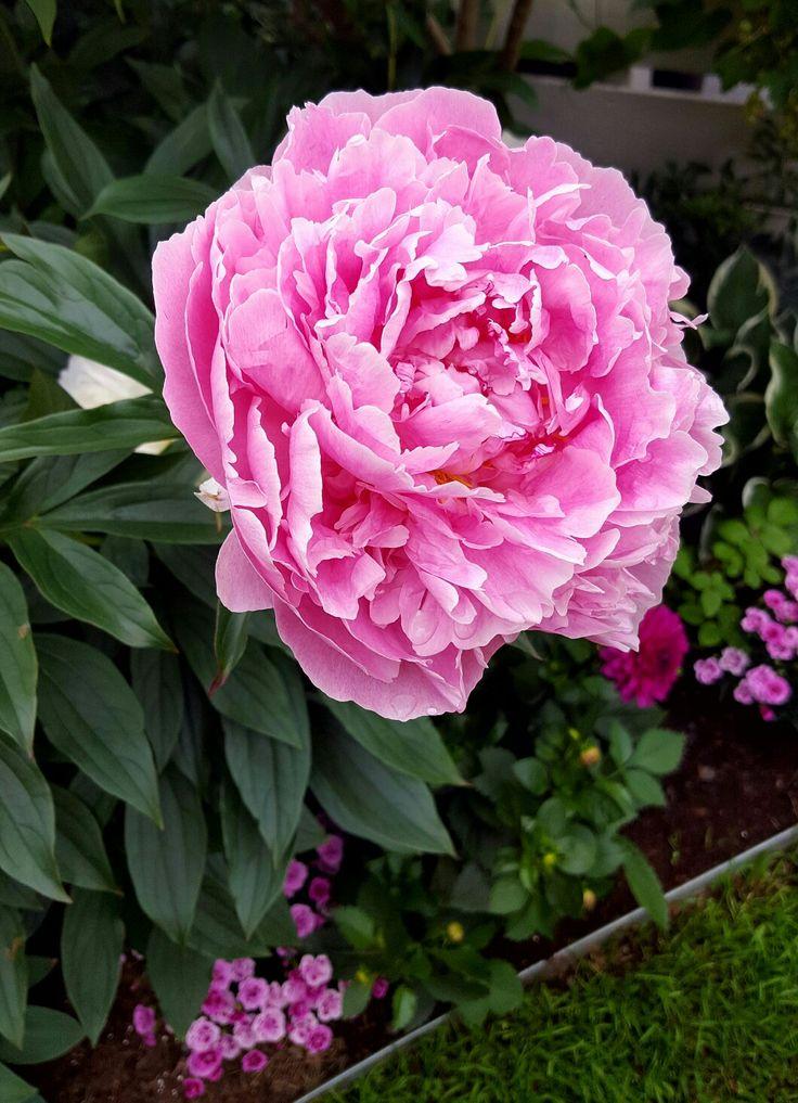 Pink peony, Sarah Bernhard