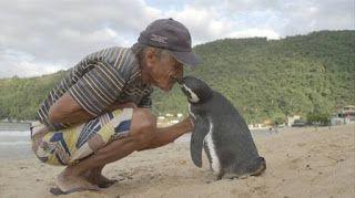 Tous les ans ce pinguin traverse 800 km pour retrouver l'homme qui lui a sauvé la vie [Amitié Animal Animaux insolite Santé Sauver]