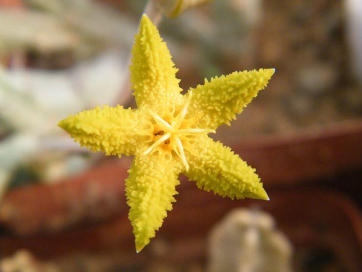 Tridentia virescens