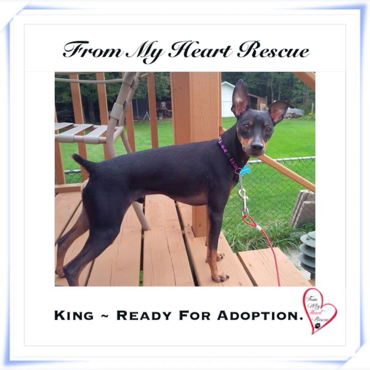 #Please ❤️+ #PIN #FMHR #FromMyHeartRescue #RescueWithoutBorders #SavingOneDogAtaTime ~ #King #Is #Ready #For #Adoption *King's Petfinder Bio: https://www.petfinder.com/petdetail/33004691 *Thank you❤️ *Info, Foster, Adoption, PayPal & e-transfer: frommyheartrescue@hotmail.com *Our Vets: Brock St. Animal Hospital 905-430-2644 *Fundraising & Volunteering: FMHRfundraising@hotmail.com *www.frommyheartrescue.com **www.petfinder.com/shelters/ON441.html *Find us on…