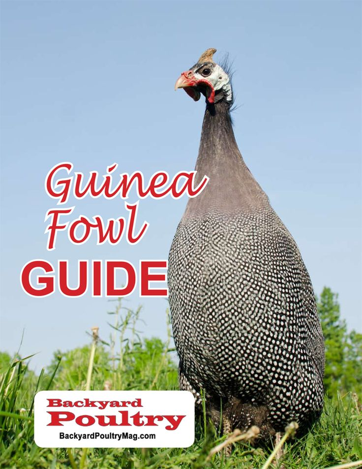 Get a FREE handbook on keeping guinea fowl, including how to choose, buy, feed, and care for them.