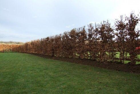 Beech Hedging | Instant Hedging & Hedges - Beech