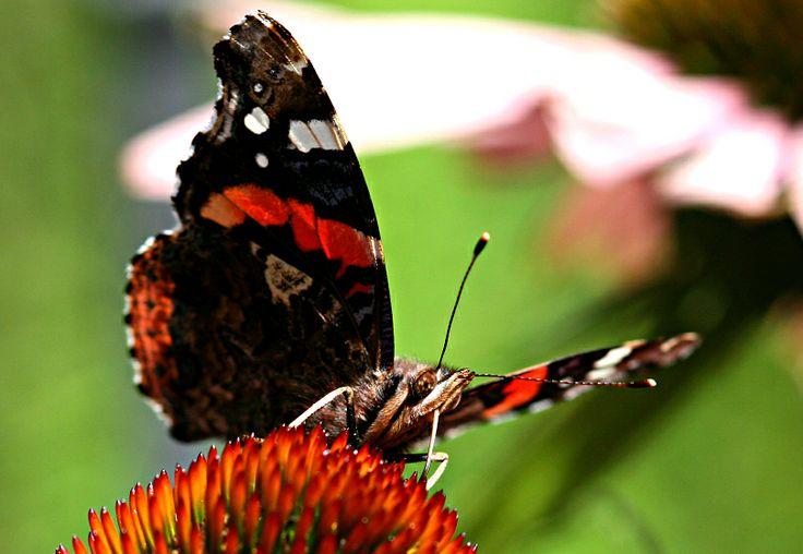http://www.designnation.de/Media/Galerie/48b2ee61276bf,Schmetterling--Pfauenauge.jpg