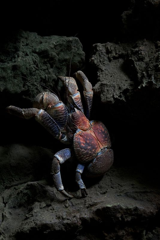 """Coconut Crab ~ The largest land-living arthropod in the world with a weight of up to 4.1 kg (9.0 lb), it can grow to up to 1 m (3 ft 3 in) in length from leg to leg and is found on islands across the Indian Ocean and parts of the Pacific Ocean as far east as the Gambier Islands, mirroring the distribution of the Coconut Palm whose fruit it eats (along with the occasional small critter). ~ Miks' Pics """"Sea Life lll"""" board @ http://www.pinterest.com/msmgish/sea-life-lll/"""