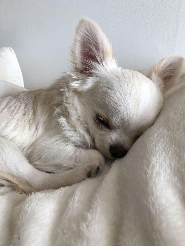 Ziemlich Weisse Chihuahua Schlaft Wie Eine Schone Prinzessin Hunderassen Hund Chihuahua Chihuahua Welpen