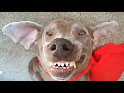 Funny Dog best of the worlds funniest talking Weimaraner videos,Hilarious - http://www.doggietalent.com/posts/funny-dog-best-of-the-worlds-funniest-talking-weimaraner-videoshilarious/