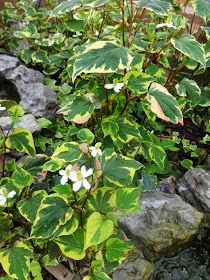 Herbs from Distant Lands: Houttuynia cordata - Fish mint, Chameleon plant