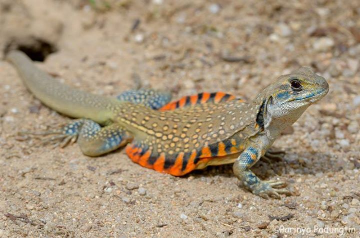 U S Lizard USARK - United ...