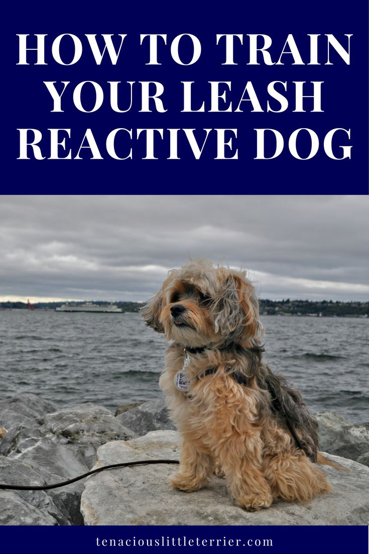 How to Train Your Leash Reactive Dog with the LAT method.