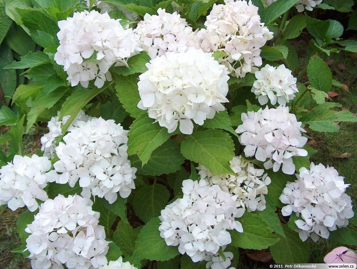 Hydrangea macrophylla Sister Theresa (Syn Soeur Theresa), Plant in 3.5  Pot