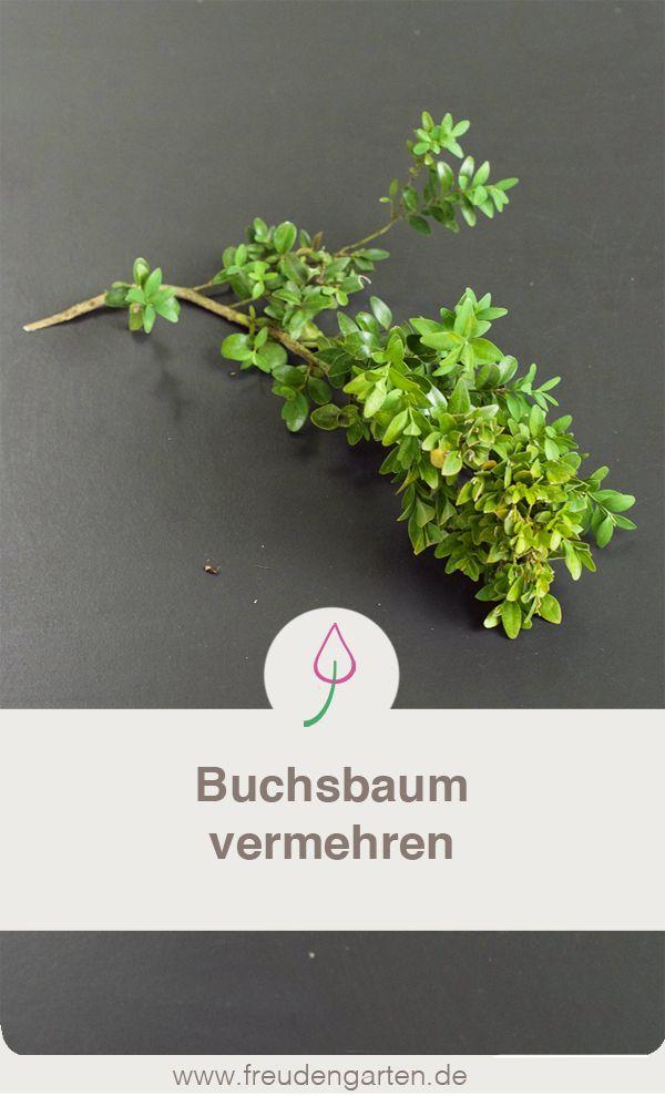 Buchsbaum Vermehren Gartenfreunde Garden Outdoor Projects Und