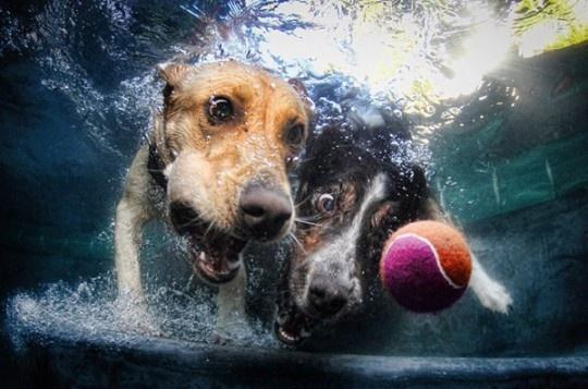 Great series of Diving Dogs by Seth Casteel  #SethCasteel #DivingDogs #UnderwaterDogs