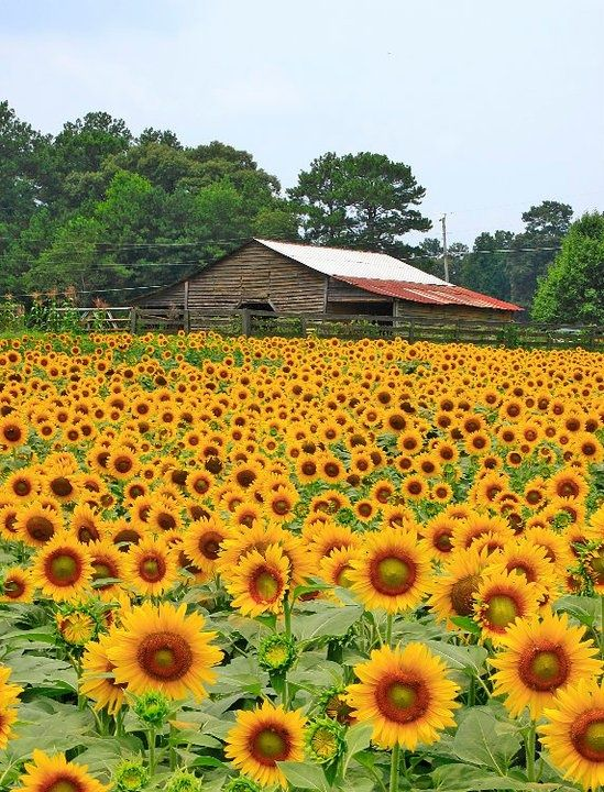 Sunflower field North Texas (With images) Sunflower