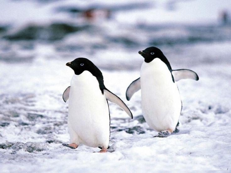 caracteristicas-generales-de-los-pinguinos.jpg (800×600)