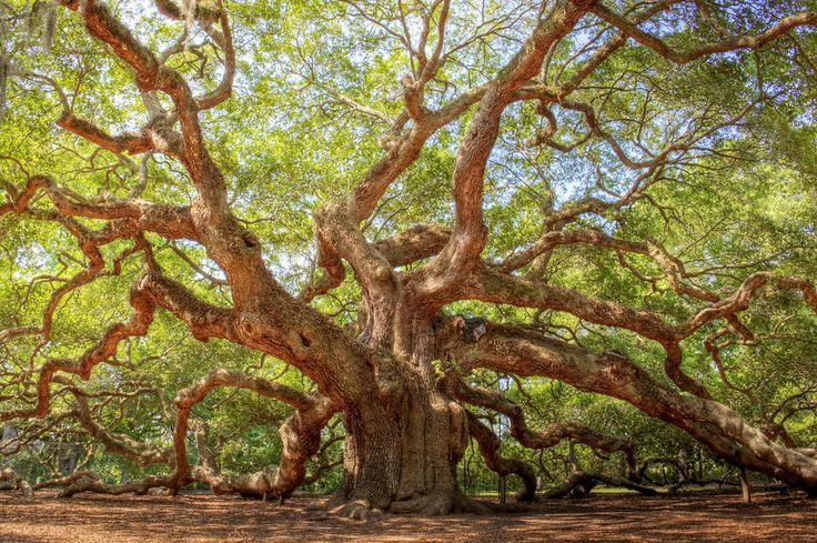 Angel Oak in Charleston, SC...reportedly the oldest living thing east of the Rockies.  1500 yrs. old!