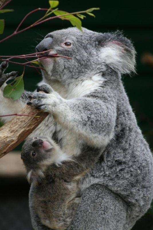 koalas, loving each other. I WILL HOLD ONE SOMEDAY!!!!