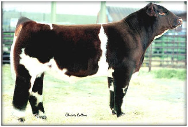 15 best images about Shorthorn Cattle on Pinterest ...