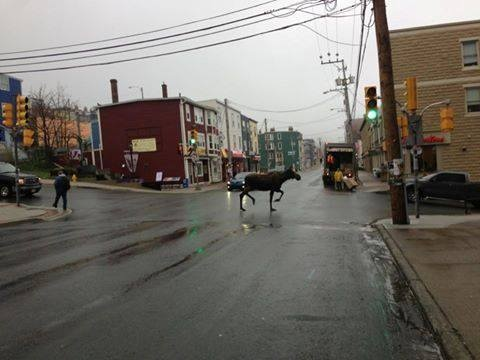 Great shot of the Moose on Duckworth Street, St. John's.  Looks like its on its way to Tims!