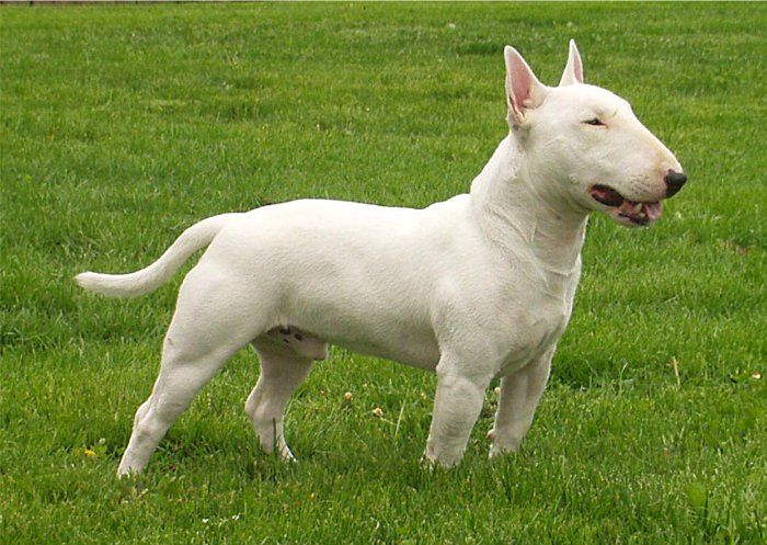 bull terrier | ... Bull Terrier Photos Pictures Miniature Bull Terriers - Page 1
