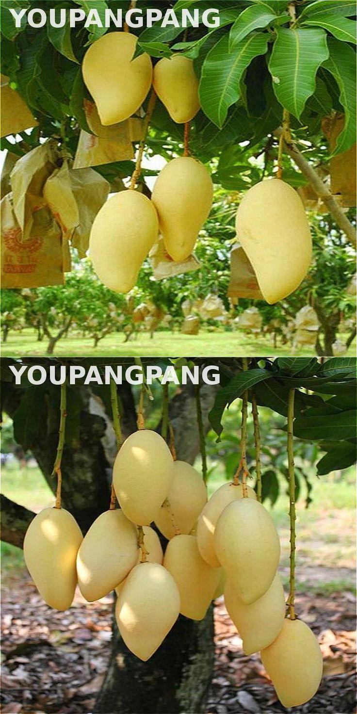 [Visit to Buy] Rare Mango Seeds Delicious Fruit Seed Very Easy Grow Plants Bonsai Pot Tree Sementes For Home Garden Planting Semillas 1PCS Sale #Advertisement