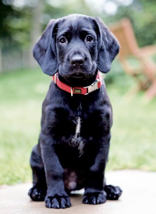 19 Best Springador Images On Pinterest Doggies Labrador