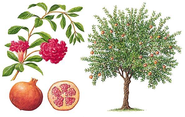 les 564 meilleures images du tableau les arbres leurs fleurs et leurs fruits sur pinterest. Black Bedroom Furniture Sets. Home Design Ideas