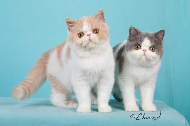 exotic shorthair cat   Browse Exotic Shorthair Cats For Sale