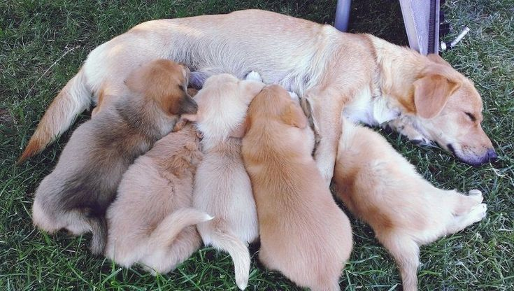 Lieber Labby: Warum ist es falsch, meinen Hund einen einzigen Wurf haben zu lassen? – Hundezeit   – Animals