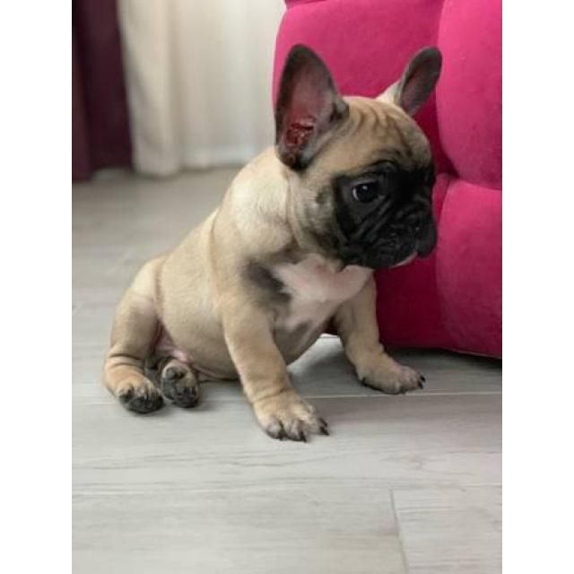 Bulldog Maplewood Beautiful Healthy French Bulldog Puppies