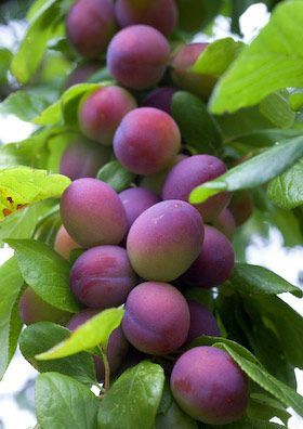 Plums.  I don't know what it is, but I really like violet and lime green together...