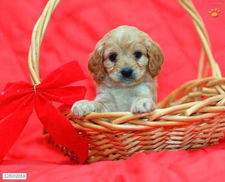 Cavapoo Puppies For Sale Kijabe Kenya