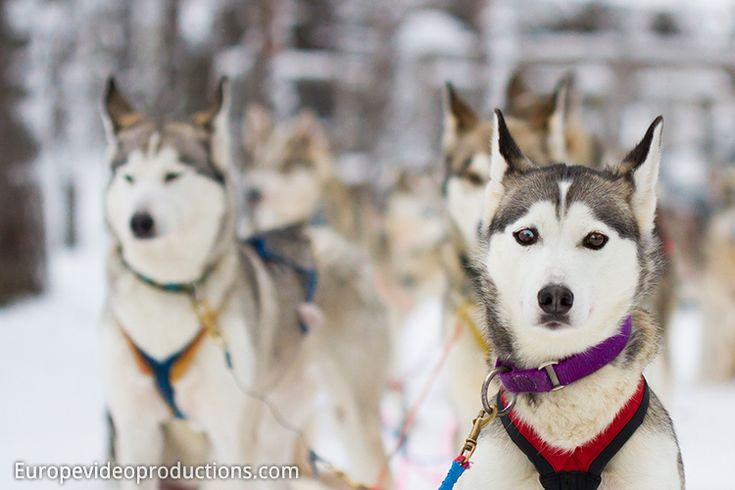 Chiens husky en Laponie Suédoise