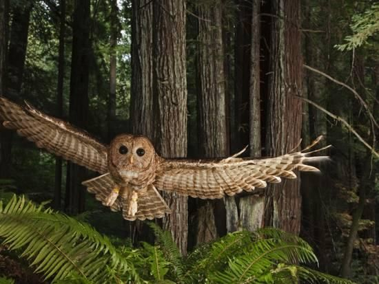 Tagged Northern Spotted Owl in a Redwood Forest Photographic Print by Michael Nichols at AllPosters.com